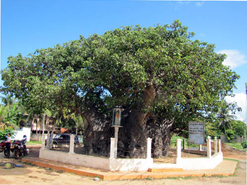 Baobab-tree-in-Mannar